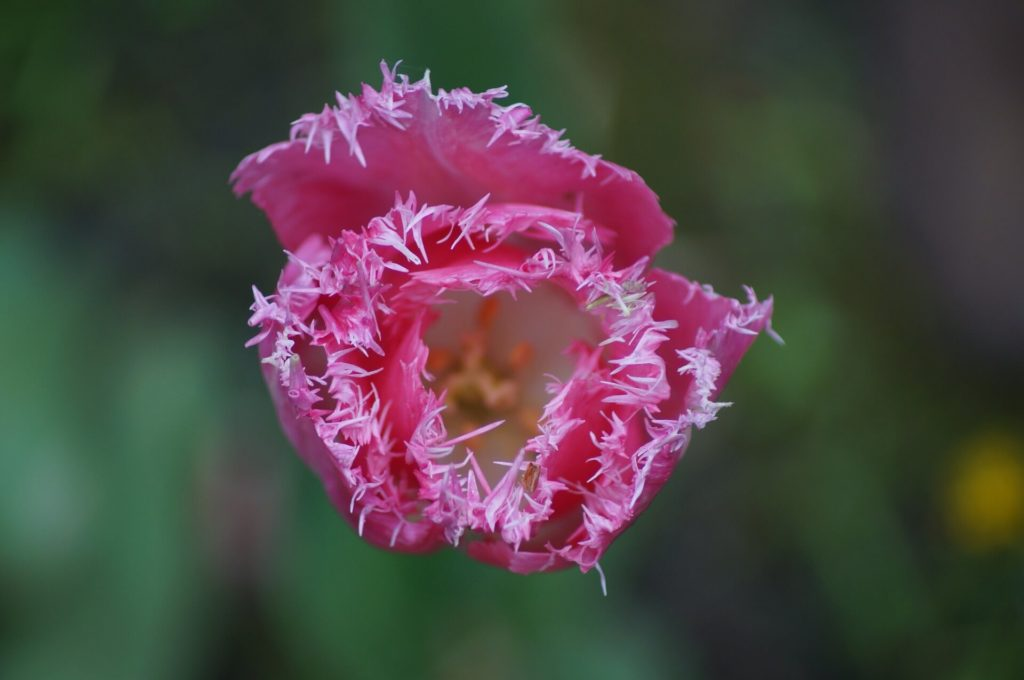 ピンクのビラビラを持つ花びらは性器みたい!
